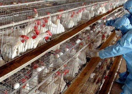 هشدار دامپزشکی؛ آنفلوآنزای فوق حاد پرندگان به خوزستان رسید/ شهروندان مرغ زنده نخرند