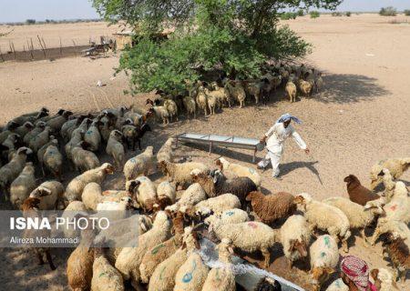 جزییات توزیع خوراک دام در خوزستان